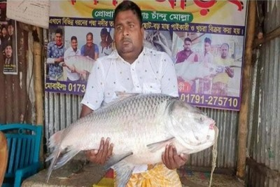 গোয়ালন্দে পদ্মা নদীতে ধরা পড়েছে বিশাল আকৃতির কাতলা মাছ
